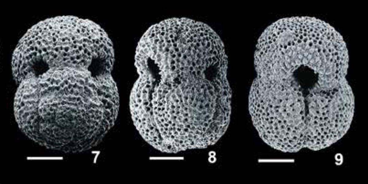 pforams@mikrotax - Globigerinoides subquadratus