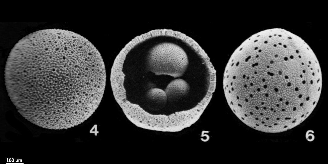 4eddf39108a7 pforams mikrotax - Orbulina universa