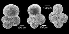 To Mikrotax (Parasubbotina Olsson, Hemleben, Berggren, and Liu, 1992)