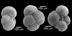 To Mikrotax (Parasubbotina hagni(Gohrbandt 1967))