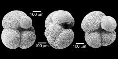 To Mikrotax (Subbotina corpulenta (Subbotina 1953))