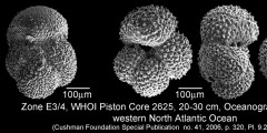 To Mikrotax (Acarinina wilcoxensis (Cushman & Ponton 1932))