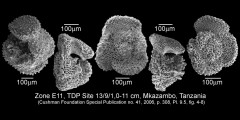 To Mikrotax (Acarinina punctocarinata Fleisher 1974)