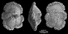 To Mikrotax (Morozovella marginodentata (Subbotina 1953))