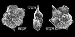 To Mikrotax (Astrorotalia palmerae (Cushman & Bermudez 1937))