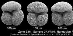 To Mikrotax (Dentoglobigerina eotripartita Pearson, Wade, and Olsson, in Wade et al. 2018)