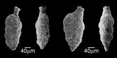 To Mikrotax (Heterohelicidae Cushman, 1927)