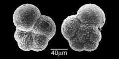 To Mikrotax (Tenuitella gemma (Jenkins 1966))