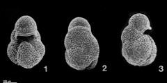 To Mikrotax (Globoturborotalita nepenthes (Todd 1957))