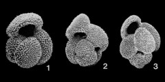 To Mikrotax (Globigerinoides Cushman 1927, emend Spezzaferri et al. 2015)