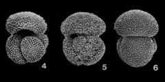 To Mikrotax (Globigerinoides conglobatus (Brady, 1879))