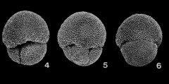 To Mikrotax (Trilobatus sicanus(de Stefani 1952))
