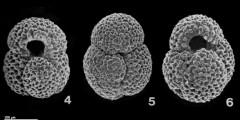 To Mikrotax (Globigerinoides bollii (Blow 1959))