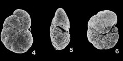 To Mikrotax (Globorotalia peripheroacuta Blow & Banner, 1966)