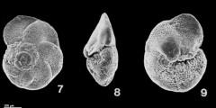 To Mikrotax (Globorotalia praefohsi Blow & Banner, 1966)