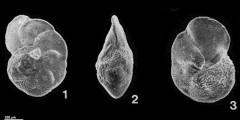 To Mikrotax (Globorotalia fohsiCushman & Ellisor, 1939)