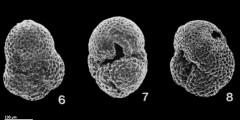 To Mikrotax (Paragloborotalia incognita (Walters 1965))