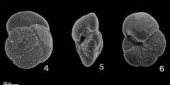 To Mikrotax (Globorotalia praescitula Blow, 1959)