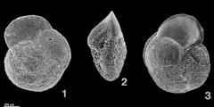 To Mikrotax (Globoconella miozea (Finlay 1939))