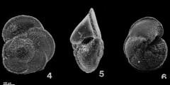 To Mikrotax (Globoconella conoidea (Walters 1965))