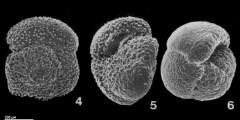 To Mikrotax (Globoconella puncticulata (Deshayes 1832))
