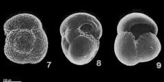 To Mikrotax (Globoconella inflata (d'Orbigny, 1839))