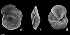 To Mikrotax (Globorotalia praemenardii Cushman & Stainforth 1945)