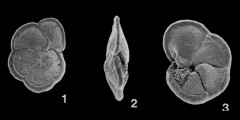 To Mikrotax (Globorotalia menardii (Parker, Jones & Brady, 1865 after d'Orbigny, 1826 nomen nudum))