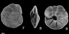 To Mikrotax (Globorotalia multicamerata Cushman & Jarvis 1930)