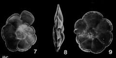 To Mikrotax (Globorotalia pertenuis Beard 1969)