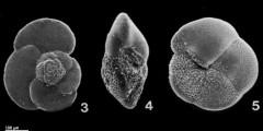 To Mikrotax (Globorotalia scitula (Brady, 1882))