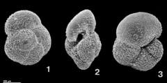 To Mikrotax (Globorotalia cibaoensis Bermudez 1949)