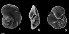 To Mikrotax (Globorotalia margaritaeBolli & Bermudez 1965)