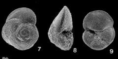 To Mikrotax (Globorotalia hirsuta (d'Orbigny, 1839))