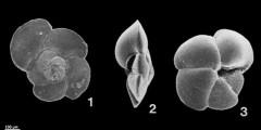 To Mikrotax (Globorotalia theyeri Fleisher, 1974)