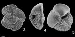 To Mikrotax (Globorotalia crassula Cushman & Stewart 1930)
