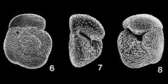 To Mikrotax (Globorotalia crassaformis (Galloway & Wissler, 1927))
