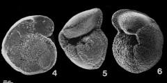 To Mikrotax (Globorotalia truncatulinoides (d'Orbigny, 1839))