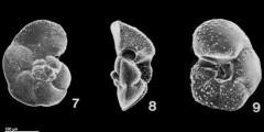 To Mikrotax (Globorotalia cavernula Bé, 1967)