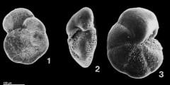 To Mikrotax (Globorotalia paralenguaensis Blow, 1969)