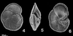To Mikrotax (Globorotalia merotumidaBlow & Banner, in Banner & Blow 1965)