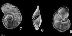 To Mikrotax (Globorotalia plesiotumida Banner & Blow 1965)
