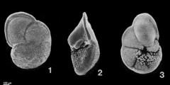 To Mikrotax (Globorotalia tumida (Brady, 1877))
