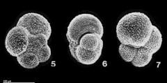 To Mikrotax (Tenuitella munda (Jenkins 1966))