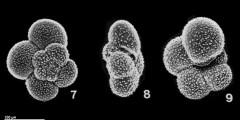 To Mikrotax (Dentigloborotalia anfracta (Parker, 1967))
