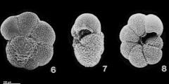 To Mikrotax (Paragloborotalia siakensis (LeRoy, 1939))