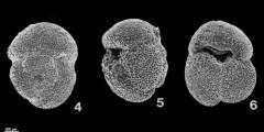 To Mikrotax (Dentoglobigerina tripartita (Koch 1926))