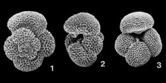 To Mikrotax (Dentoglobigerina baroemoenensis (LeRoy, 1939))