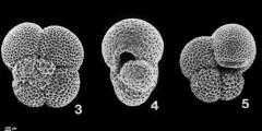 To Mikrotax (Paragloborotalia continuosa (Blow, 1959))