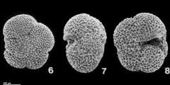 To Mikrotax (Neogloboquadrina pachyderma (Ehrenberg, 1861))